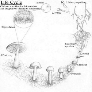 Lifecycle of Mushrooms